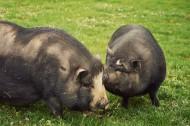 家养猪图片_8张