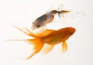 金魚圖片_30張