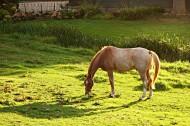 草地上的骏马图片_10张