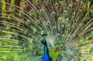 開屏的美麗孔雀圖片_14張