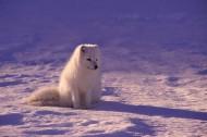可爱的北极狐图片_9张