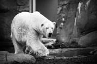可爱的北极熊图片_7张