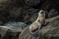 可愛的海獅圖片_11張