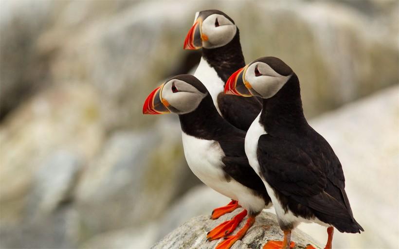 点击大图看下一张:可爱的善知鸟图片