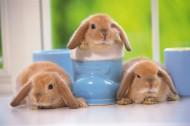 軟萌可愛的小兔子圖片_15張