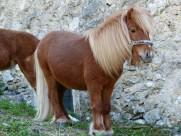 矮馬、小馬圖片_15張