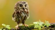 可愛的小貓頭鷹圖片_10張