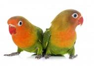 可愛的鸚鵡圖片_10張