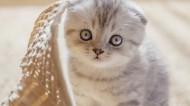 可愛的折耳貓圖片_7張