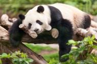 心爱国宝大年夜熊猫图片_20张