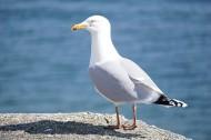 可愛的海鷗圖片_16張