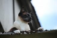 暹罗猫图片_15张