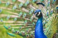 孔雀和孔雀羽毛图片_10张