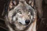 狼的头部图片_15张