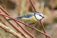 觀賞鳥——藍山雀圖片_15張