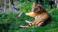 凶猛的老虎图片_10张