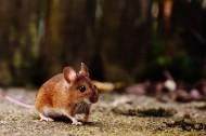 可爱的小老鼠图片_10张