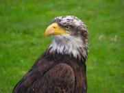 老鷹的頭部圖片_10張