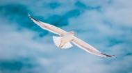 天空中飛翔的海鷗圖片_14張