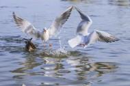 飛翔覓食的白色海鷗圖片_12張