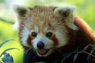 可爱的小熊猫图片_12张
