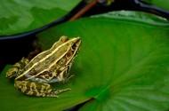 莲池的青蛙图片_8张