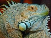 可变体色的鬣蜥图片_15张