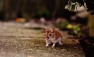 正在吃花生的老鼠图片_15张