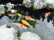 色彩缤纷的鲤鱼图片_14张