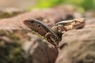 蜥蜴图片_10张