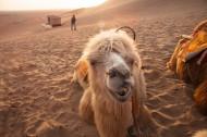 沙漠中的骆驼图片_12张