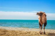 沙漠中骑行的骆驼图片_14张