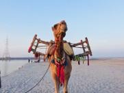 骆驼高清图片_13张