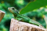 綠色的蜥蜴圖片_9張