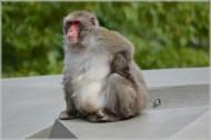 日本猕猴图片_9张