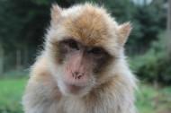 瀕臨滅絕的地中海獼猴圖片_15張