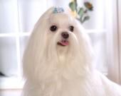 马尔济斯犬图片_20张