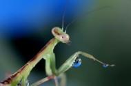 螳螂微距图片_7张