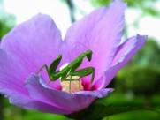 花上的螳螂图片_9张