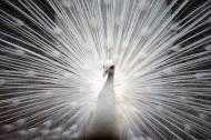 美麗端莊的白孔雀圖片_15張