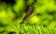 美丽的蜻蜓图片_11张