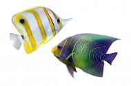 美丽的热带鱼图片_12张