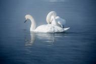 美麗的天鵝圖片_7張