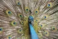 美丽的孔雀开屏图片_6张