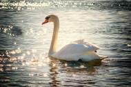 美麗天鵝的圖片_12張