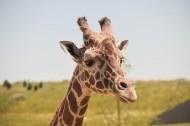 美丽可爱的长颈鹿图片_16张