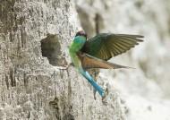 蓝喉蜂虎鸟类图片_8张
