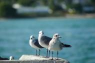 海鷗圖片_12張