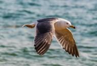 海鷗圖片_10張