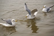 水上游玩的海鷗圖片_10張